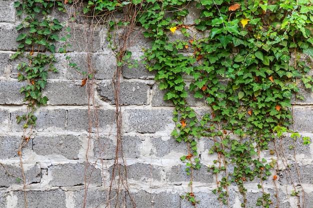 Zielona Bluszcz Rośliny Wspinaczka Na Starym Białym ściana Z Cegieł Tle. Premium Zdjęcia