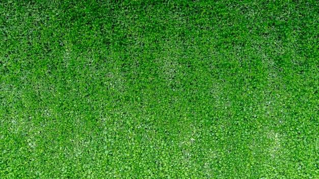 Zielona Bluszcz ściana Opuszcza Tło Natury Teksturę. Premium Zdjęcia