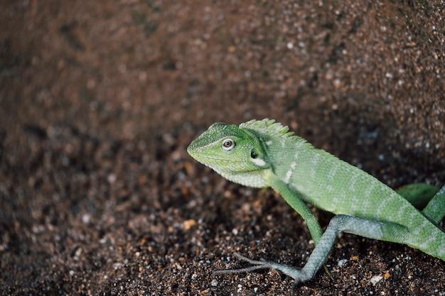 Zielona Jaszczurka, Głowa Kameleona Darmowe Zdjęcia