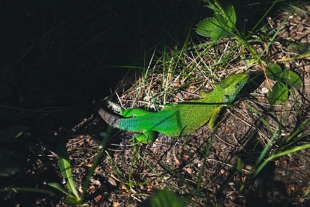 Zielona Jaszczurka Siedzi W Trawie W Ogródzie Premium Zdjęcia