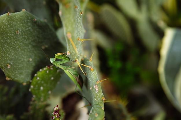 Zielona Modliszka Szuka Zdobyczy Na Kaktusie Premium Zdjęcia