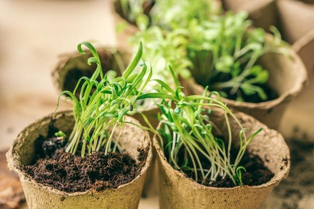 Zielona Sadzonka Wyrastająca Z Ziemi Premium Zdjęcia