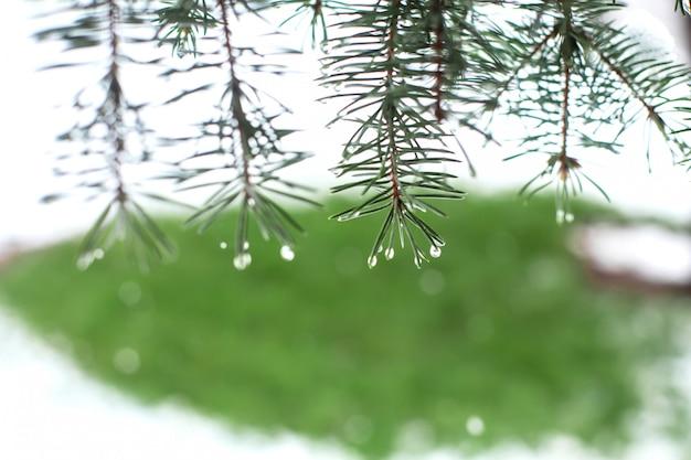 Zielone Choinki W Parku Zimowym Pokryte śniegiem Premium Zdjęcia