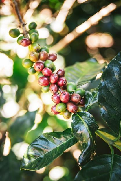 Zielone i czerwone arabica kawowe jagody od kawowego drzewa w akha wiosce maejantai na wzgórzu w chiang mai, tajlandia. Premium Zdjęcia