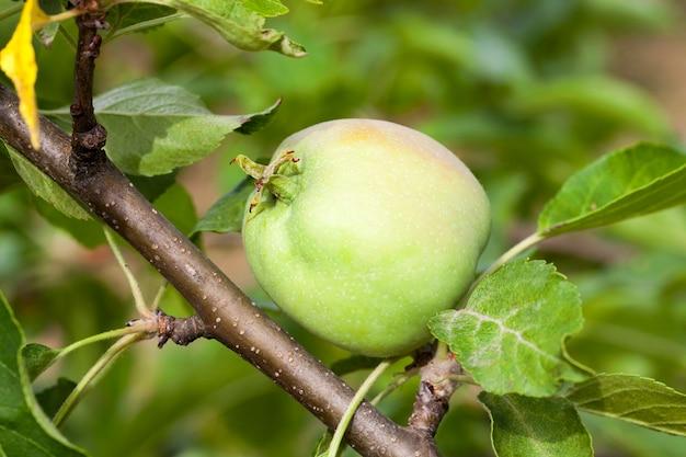 Zielone Liście Jabłoni I Jabłka Rosnące Na Terenie Sadu. Zbliżenie Z Małą Głębią Ostrości. Premium Zdjęcia