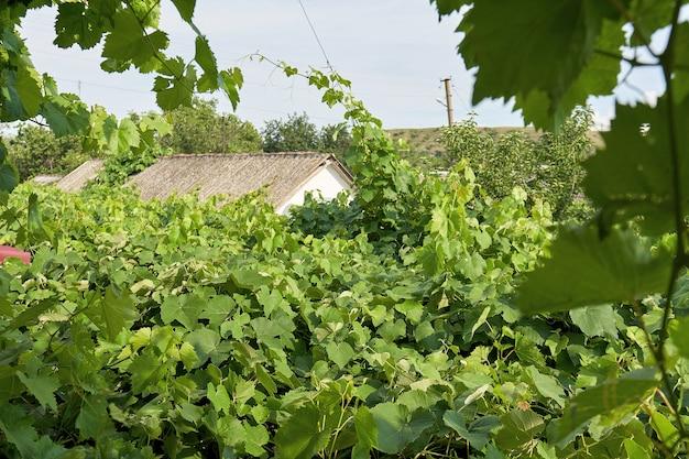 Zielone Liście Winorośli Są Używane Jako Dach Lub Baldachim Premium Zdjęcia