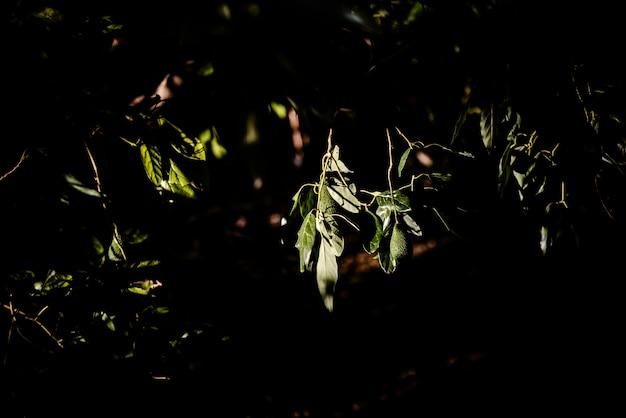 Zielone Owoc Awokado Drzewo Wiesza Od Gałąź, Ciemny Tło. Premium Zdjęcia