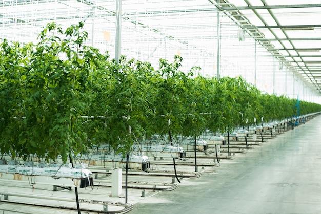 Zielone pomidory kiełkują w szklarni Premium Zdjęcia
