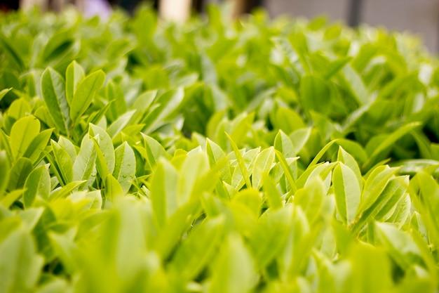Zielone, świeże Liście Premium Zdjęcia