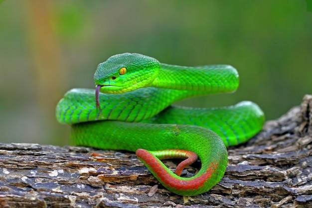 Zielone Węże Jaskiniowe żmija żmija, Timreresurus Albolabris Premium Zdjęcia