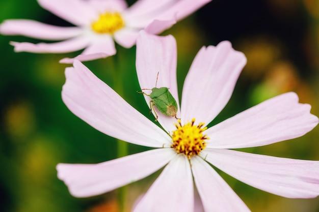 Zielony Błąd Na Kwiat Fuksja W Ogrodzie Premium Zdjęcia