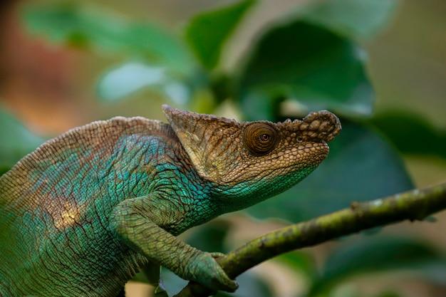 Zielony I Niebieski Kameleon Madagaskaru Wśród Gałęzi Premium Zdjęcia