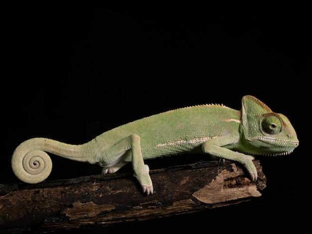 Zielony Kameleon Na Drewnie, Zwierzęcy Zbliżenie. Premium Zdjęcia