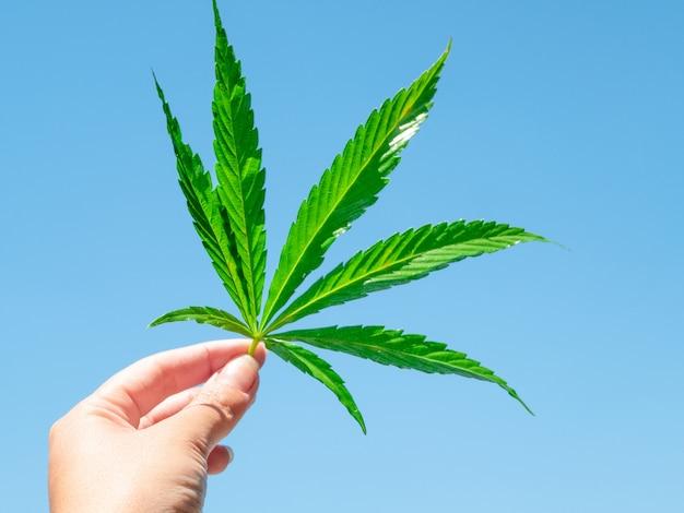 Zielony liść marihuany w ręce przeciw niebieskiego światła niebu. Premium Zdjęcia