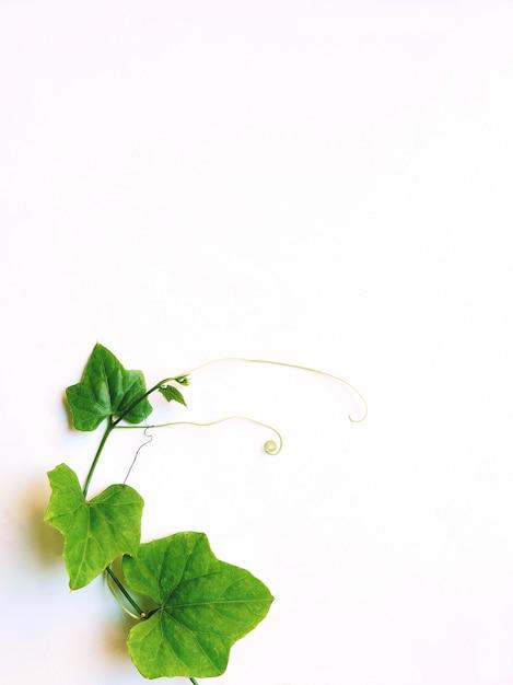 Zielony liść odizolowywający na białym tle Premium Zdjęcia