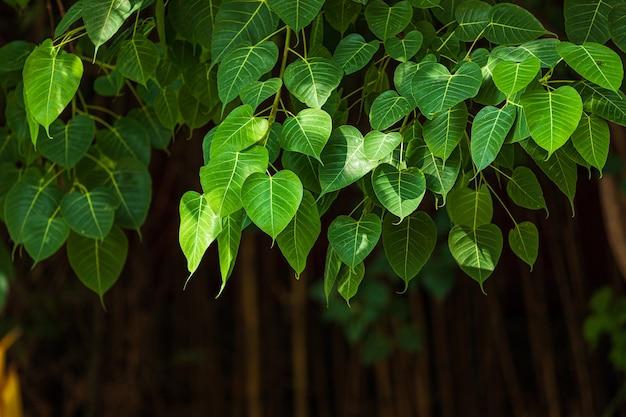 Zielony Liścia Pho Liścia Tło W Lasowym Bo Drzewie Jest Liściem Reprezentuje Buddyzm W Thailand (bo Liść). Premium Zdjęcia