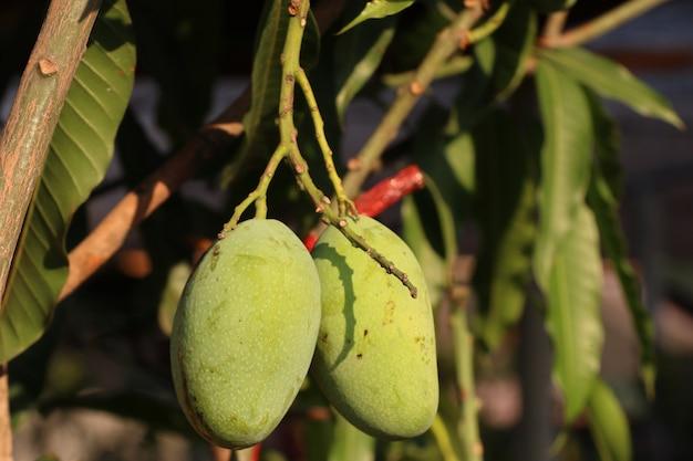 Zielony organicznie mangowy drzewo Premium Zdjęcia