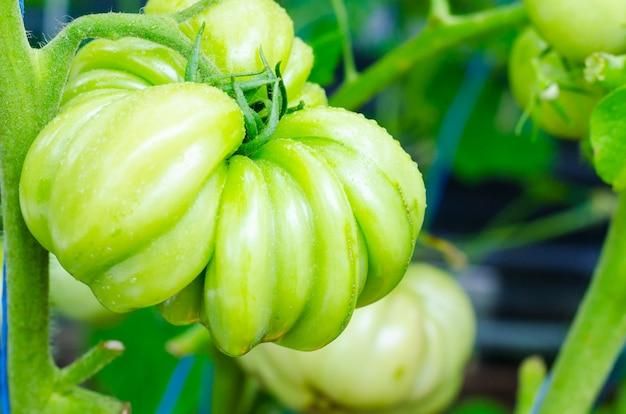Zielony owoc niedojrzałego pomidorowego befsztyka na krzaku Premium Zdjęcia