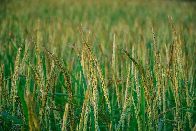 Zielony Ryż Na Polach Uprawnych. Organiczne Pole Ryżowe. Premium Zdjęcia