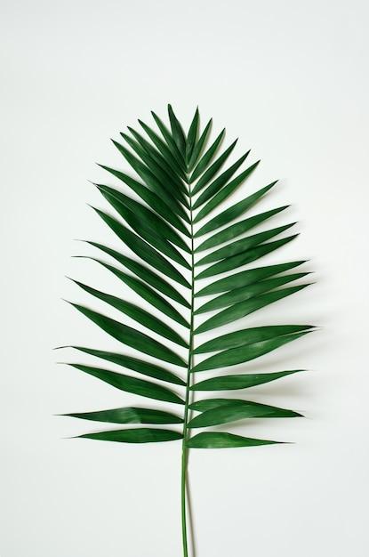 Zielony Tropikalny Palmowy Liść Na Białym Tle. Premium Zdjęcia