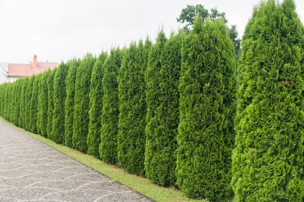 Zielony żywopłot Drzew Tuja. Zielony żywopłot Drzewa Tui. Premium Zdjęcia