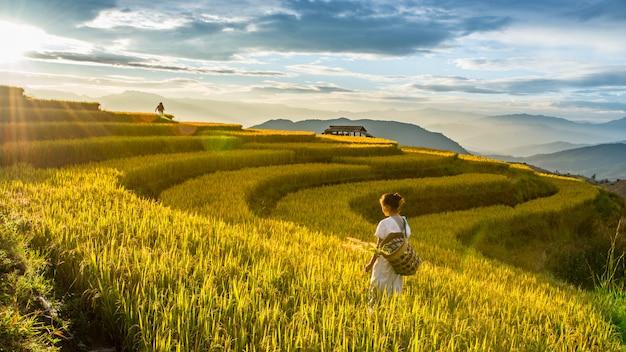 Złoci ryż pola w wsi w chiang mai, tajlandia Premium Zdjęcia