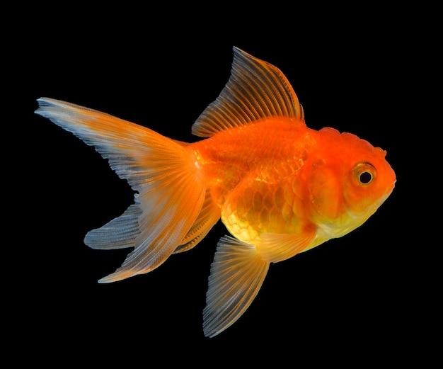 Złoto Ryba Odizolowywająca Na Czerni Premium Zdjęcia