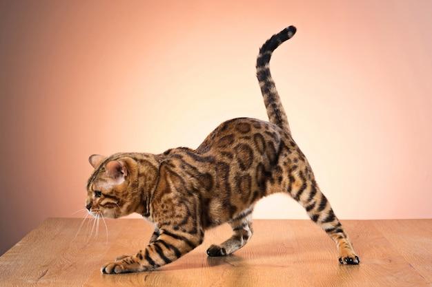 Złoty Kot Bengalski Na Brązowo Darmowe Zdjęcia