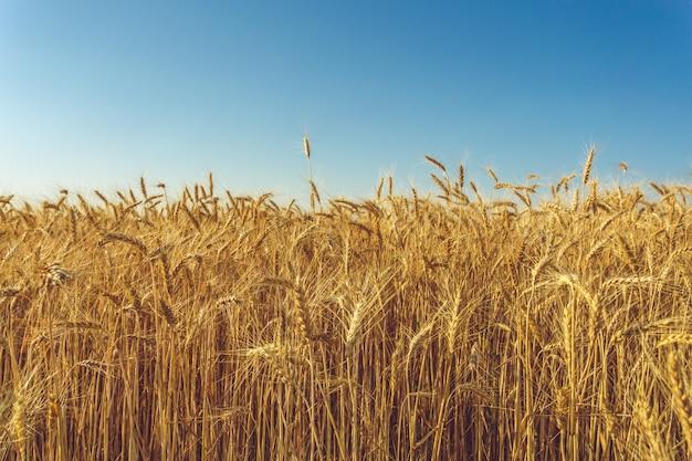 Złoty pszeniczny pole i słoneczny dzień Premium Zdjęcia
