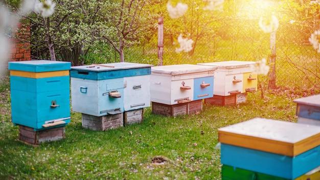 Zmierzch Nad Pasieką W Ogródzie. Wiosenne Zbiory Miodu. Przygotowanie Pszczół Na Sezon. Pasieka Z Plemiennymi Pszczołami Na Zielonej Trawie. Premium Zdjęcia