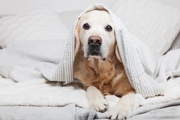 Znudzony Pies Golden Retriever Pod Jasnoszarą I Białą Kratką W Paski Premium Zdjęcia