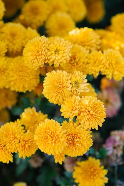 Żółci chryzantema kwiaty kwitną w jesień ogródzie Premium Zdjęcia