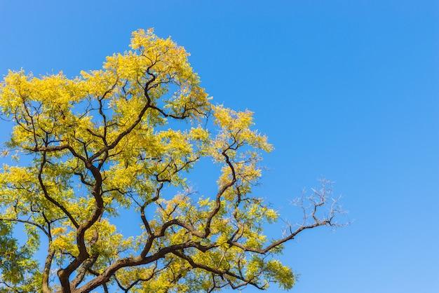 Żółci jesień liście na niebieskiego nieba tle. Premium Zdjęcia