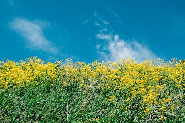 Żółte Kwiaty Na Niebieskim Tle Nieba Premium Zdjęcia