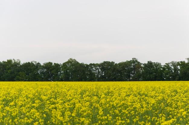 Żółte Kwiaty Rzepaku (łac. Brassica Upijają Się) Na Tle Błękitnego Nieba Premium Zdjęcia