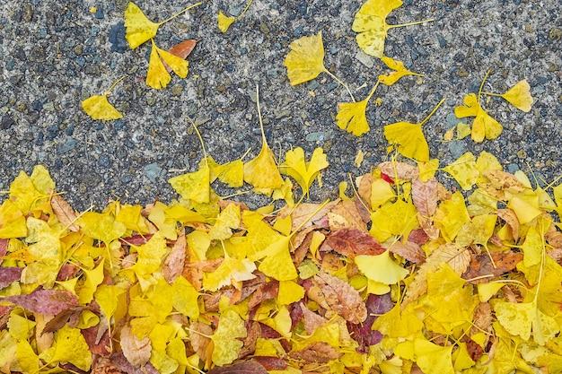 Żółte Liście Ginkgo Biloba W Ogrodzie Premium Zdjęcia