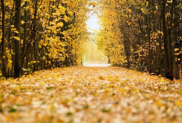 Żółte liście porozrzucane na leśnej drodze w dal. Premium Zdjęcia
