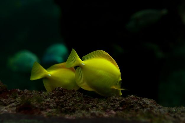 Żółte Ryby Tropikalne Spotykają Się W Akwarium Morskim Z Błękitną Rafą Koralową Premium Zdjęcia