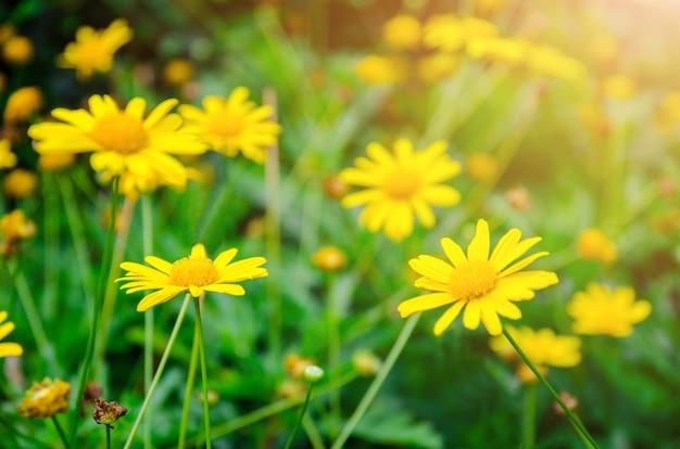 Żółty Dasie Kwiat Z Zielonym Liścia Tłem Premium Zdjęcia