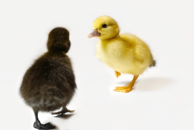 Żółty I Brązowy Noworodka Kaczątko Zbliżenie Na Białym Tle Premium Zdjęcia