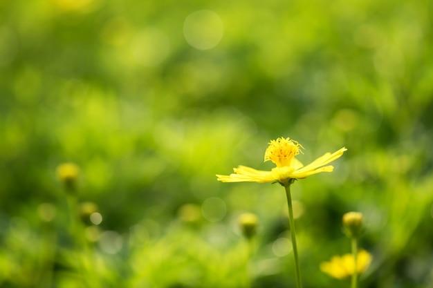 Żółty Jaskier Z Kwiecistym Bokeh Premium Zdjęcia