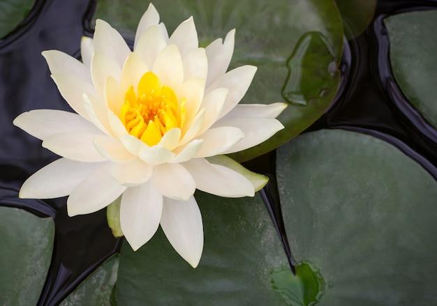 Żółty Kwiat Lotosu W Stawie Darmowe Zdjęcia