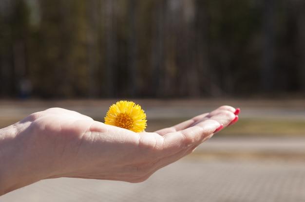 Żółty mniszek lekarski w ręce młodej dziewczyny Premium Zdjęcia