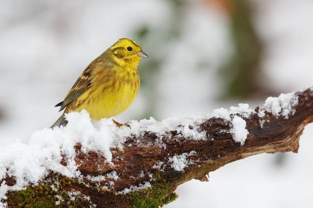 Żółty Ptak Siedzący Na Gałęzi Pokrytej śniegiem Darmowe Zdjęcia