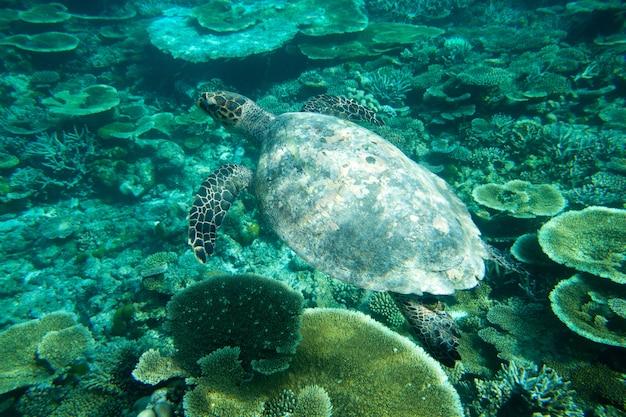 Żółw Siedzący Na Koralowcach Pod Powierzchnią Wody Premium Zdjęcia