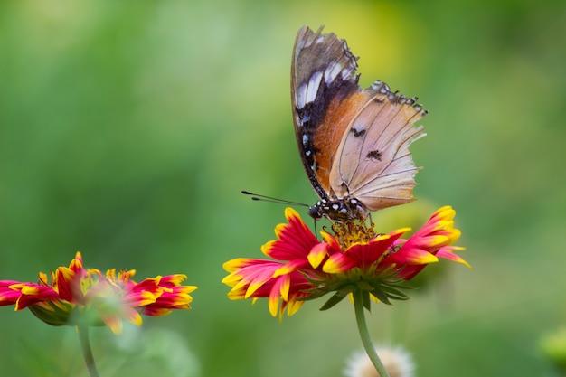 Zwykły tygrys motyl na kwiatku Premium Zdjęcia