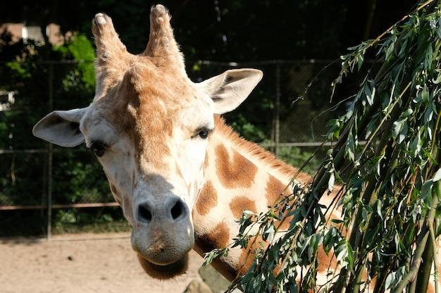 Żyrafa Afrykańska Giraffa Camelopardalis W Południowej Afryce Premium Zdjęcia