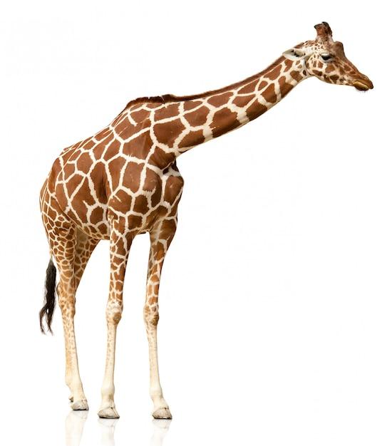 Żyrafa Odizolowywająca Na Białym Tle Premium Zdjęcia