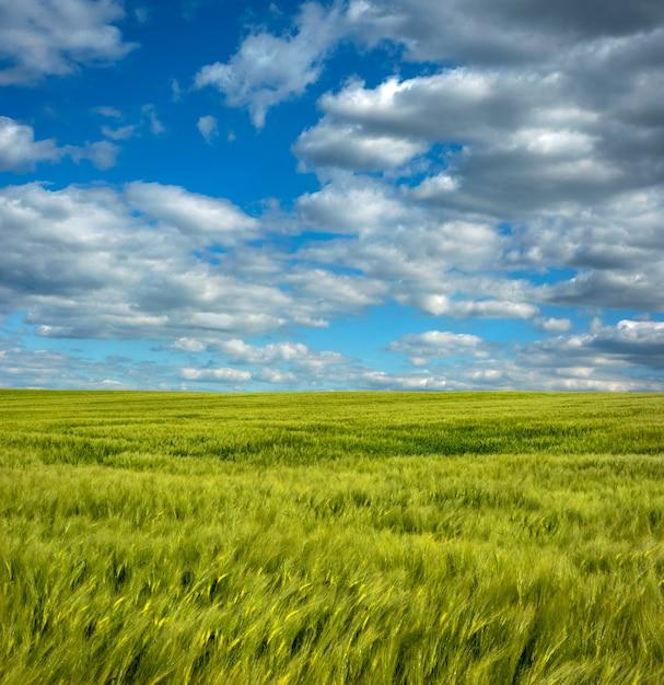 Żyta Zbliżenie Na Rolnictwa Polu Z Błękitnym Chmurnym Niebem Premium Zdjęcia