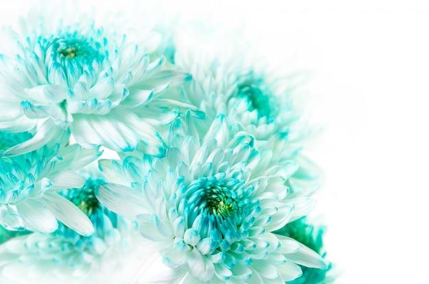 Żywe Aqua Dahlia Flowers Premium Zdjęcia